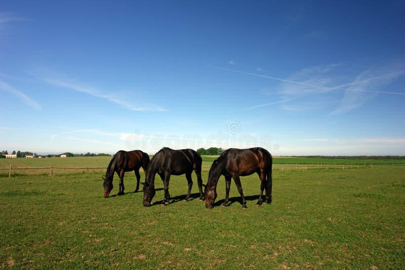 Três cavalos de pastagem foto de stock
