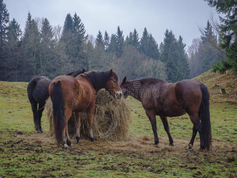 Três cavalos marrons do gengibre que comem a palha no prado com outono mis foto de stock royalty free