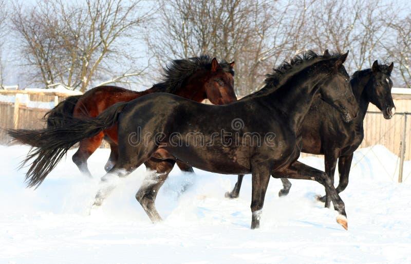 Três cavalos na neve imagem de stock royalty free