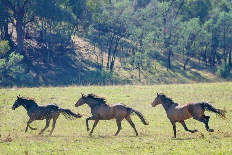 Três cavalos selvagens de galope imagem de stock royalty free