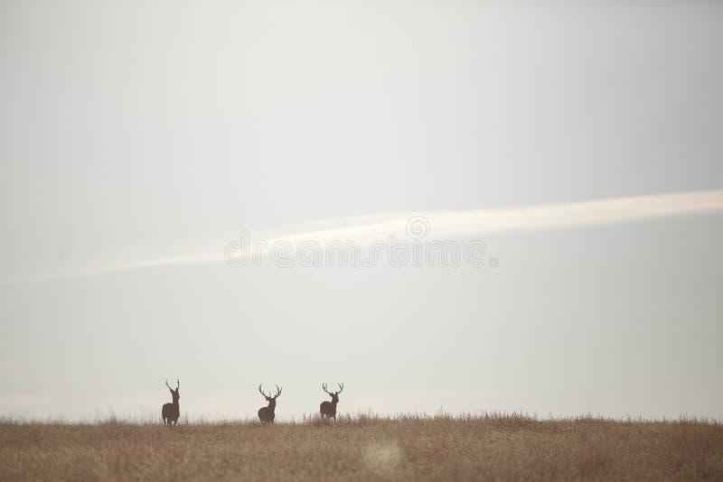 Três cervos selvagens no horizonte livram na natureza fotos de stock
