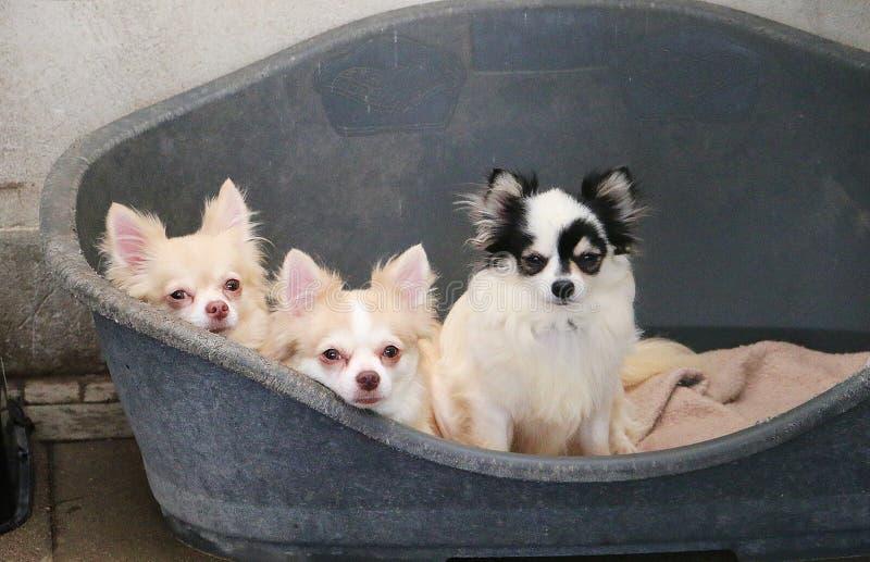 Três chihuahuas pequenas bonitas estão encontrando-se junto no canil fotos de stock royalty free