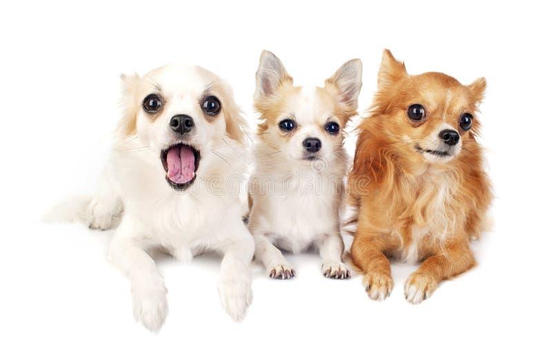 Três chihuahuas que encontram-se na linha no branco fotos de stock royalty free