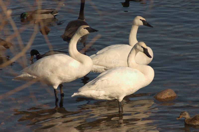 Três cisnes foto de stock royalty free