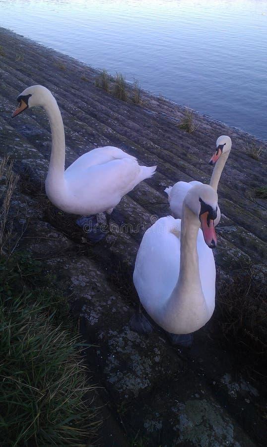 Três cisnes adultas no banco de rio imagens de stock