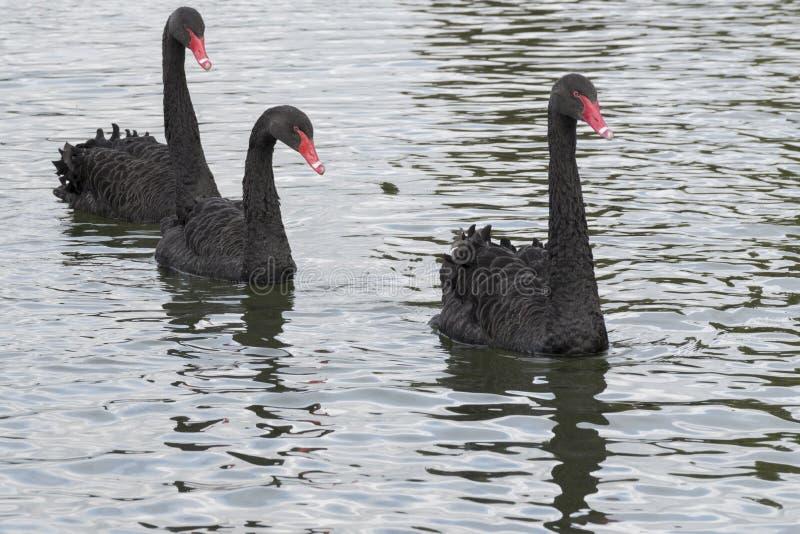 Três cisnes pretas foto de stock