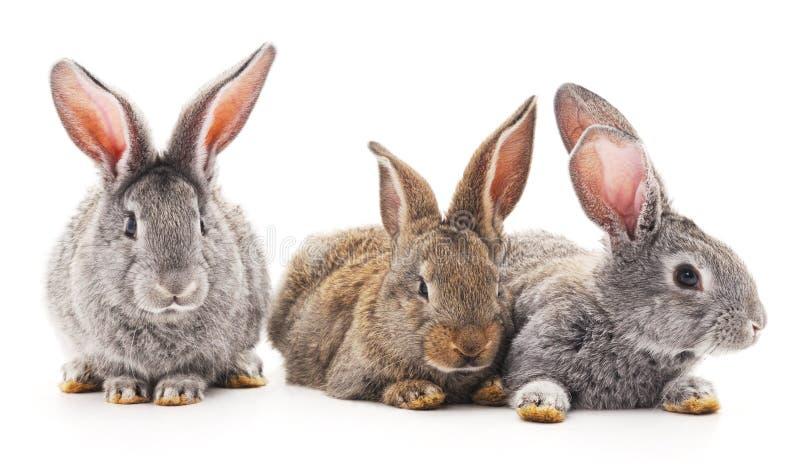 Três coelhos imagem de stock