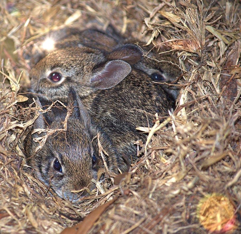Três coelhos selvagens do bebê que Teaming acima para ficar seguro imagens de stock royalty free