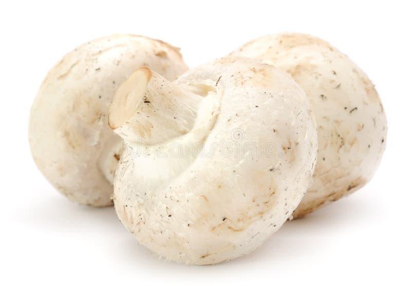 Três cogumelos de tecla brancos (cogumelos) fotos de stock royalty free