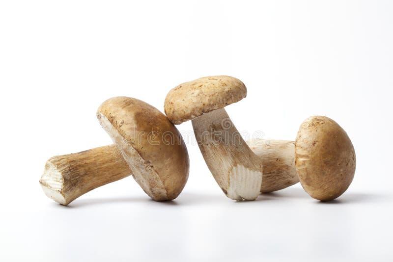 Três cogumelos frescos inteiros de Porcini fotografia de stock