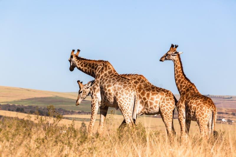 Três dos girafas animais dos animais selvagens junto imagens de stock