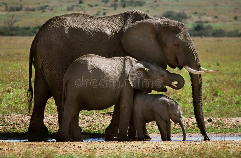 Três elefantes fotografia de stock