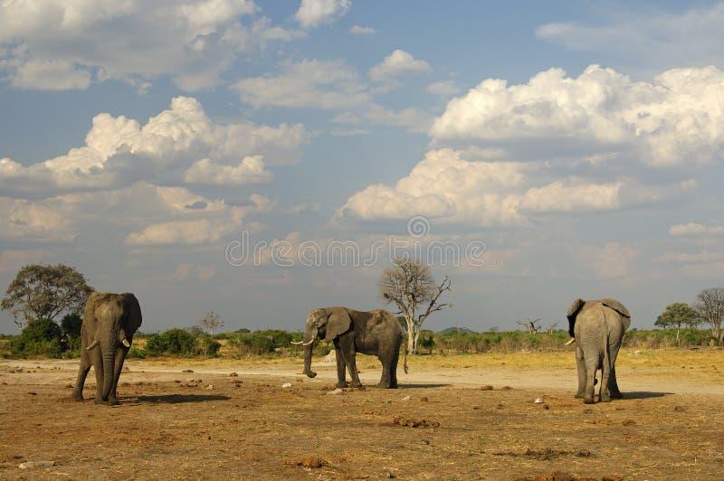 Três elefantes africanos, Botswana imagem de stock royalty free