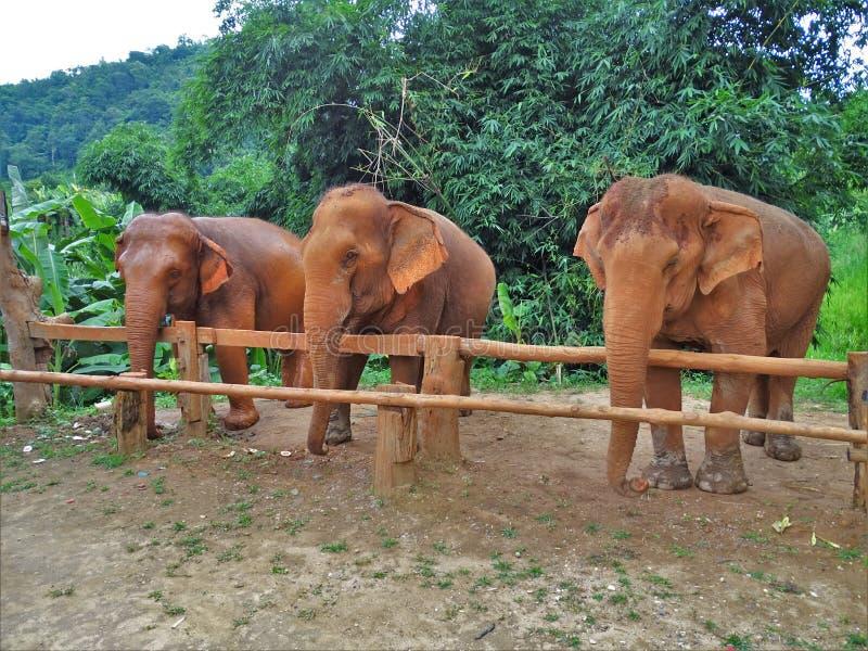 Três elefantes atrás de uma barreira de madeira imagens de stock royalty free