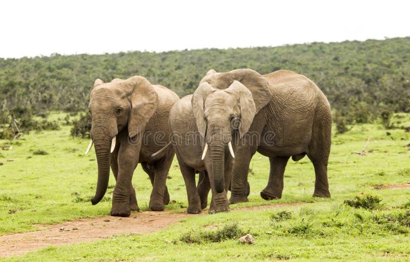 Três elefantes que andam em um trajeto fotografia de stock royalty free
