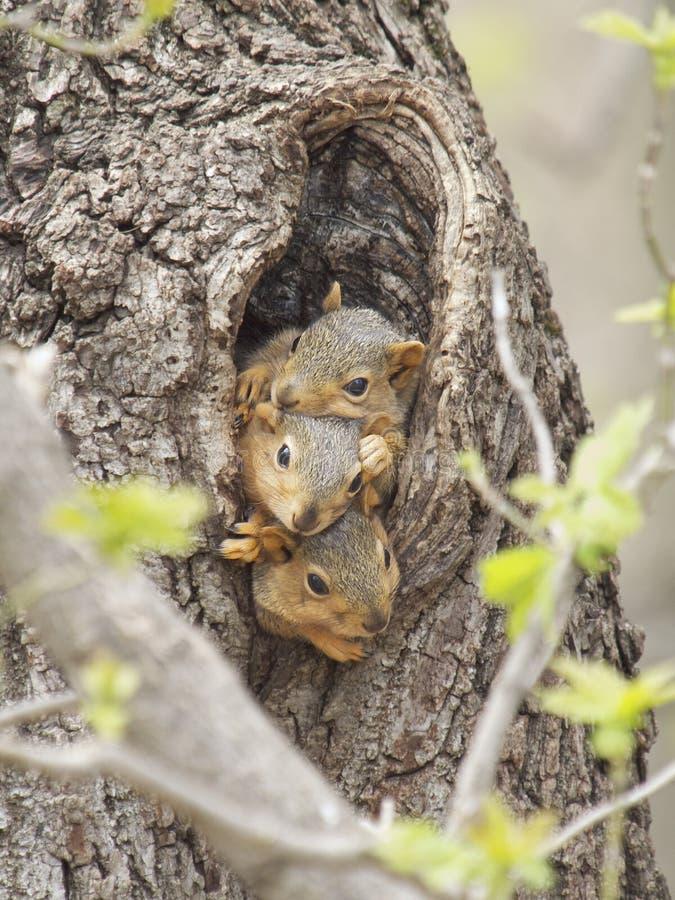 Três esquilos de raposa do bebê foto de stock royalty free