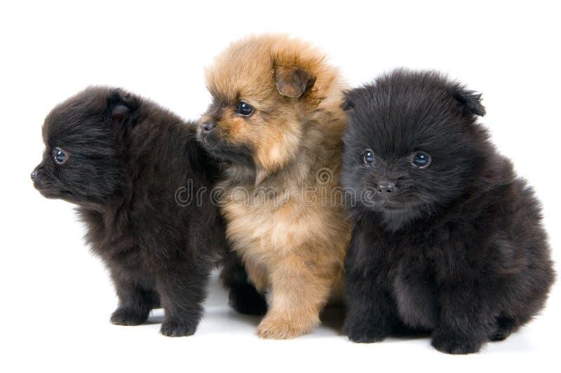 Três filhotes de cachorro foto de stock royalty free