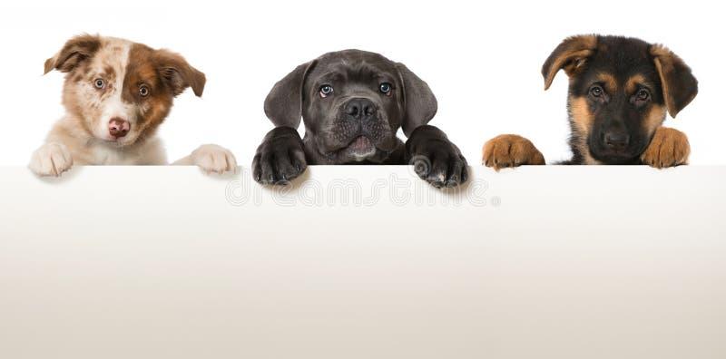 Três filhotes de cachorro foto de stock