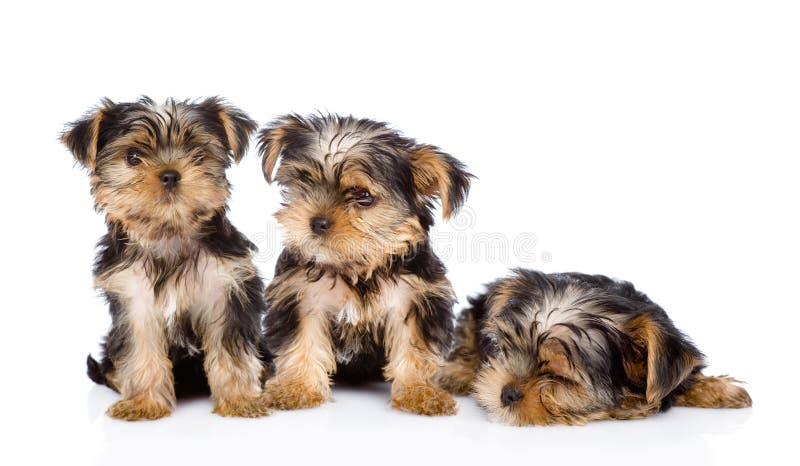 Três filhotes de cachorro do terrier de Yorkshire No fundo branco imagem de stock royalty free