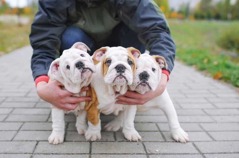 Três filhotes de cachorro ingleses do buldogue imagem de stock royalty free