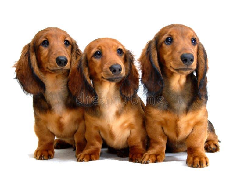 Três filhotes de cachorro Longhair do dachshund fotografia de stock royalty free