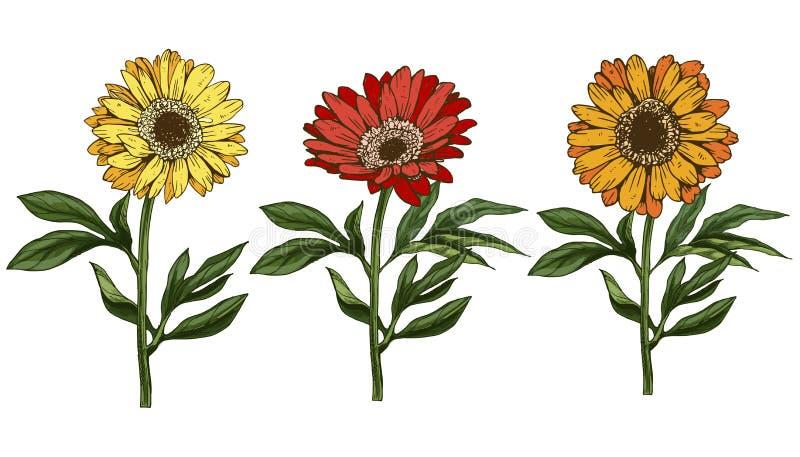 Três flores amarelas e vermelhas tiradas mão da margarida com haste e folhas isoladas no fundo branco Ilustração botânica ilustração royalty free