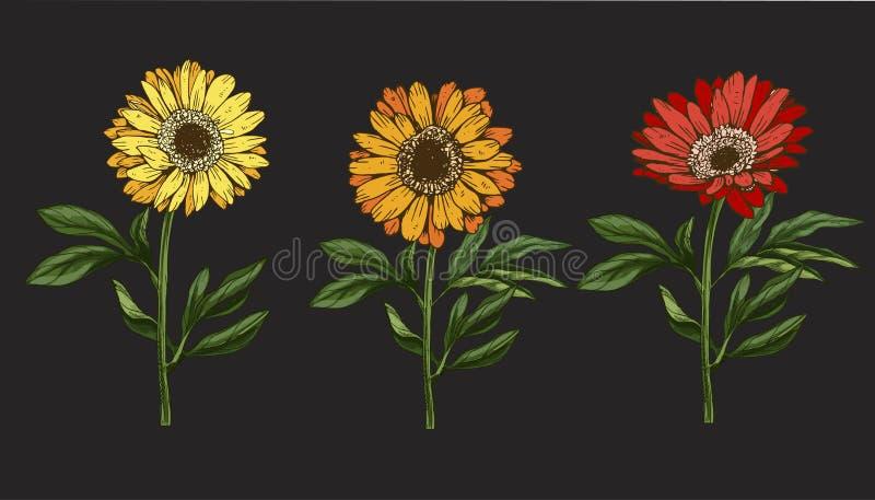 Três flores amarelas e vermelhas tiradas mão da margarida com haste e folhas isoladas no fundo preto Ilustração botânica ilustração do vetor
