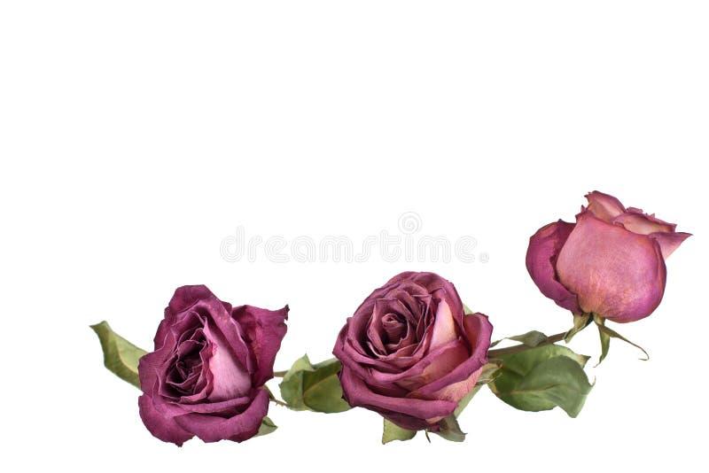 Três flores bonitas das rosas de Borgonha com haste longa e folhas verdes fundo branco no close up isolado fotos de stock