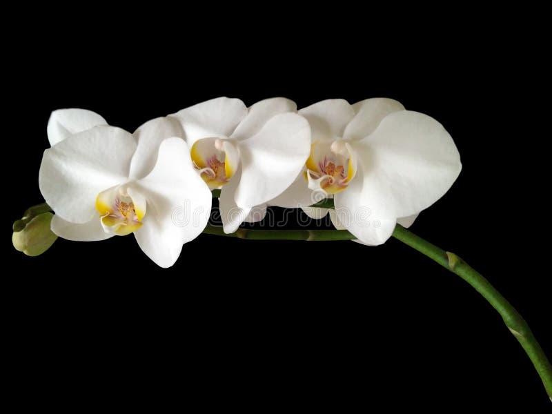 Três flores brancas da orquídea imagem de stock royalty free