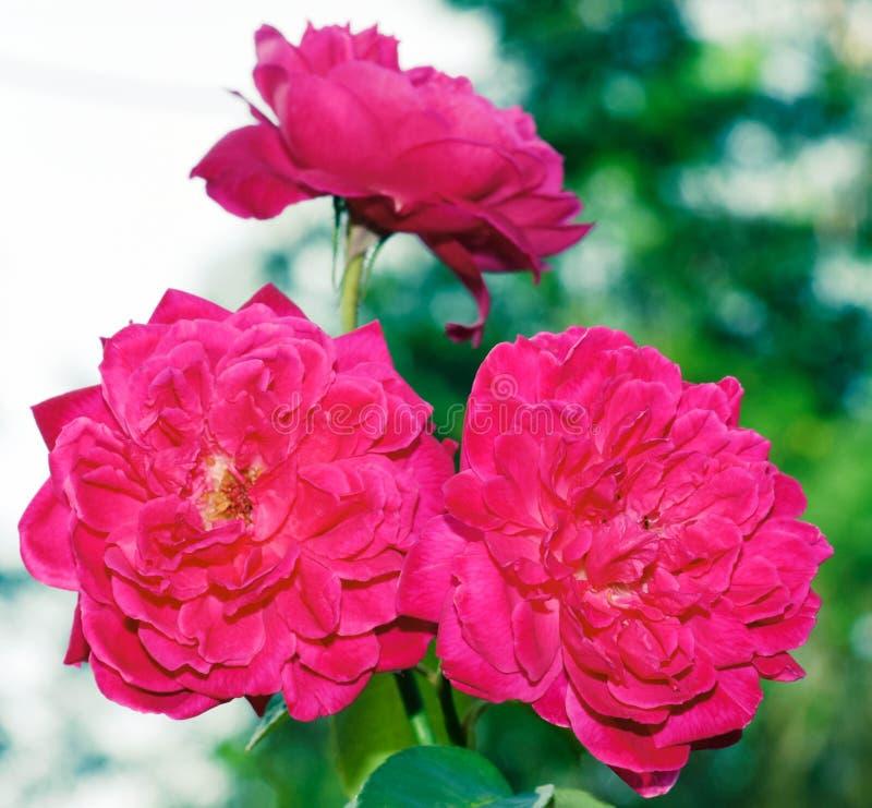 Três flores cor-de-rosa imagens de stock