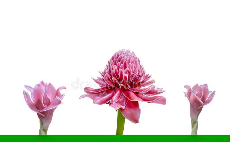 Três flores cor-de-rosa do elatior de Etlingera ou do gengibre da tocha isolado fotos de stock royalty free