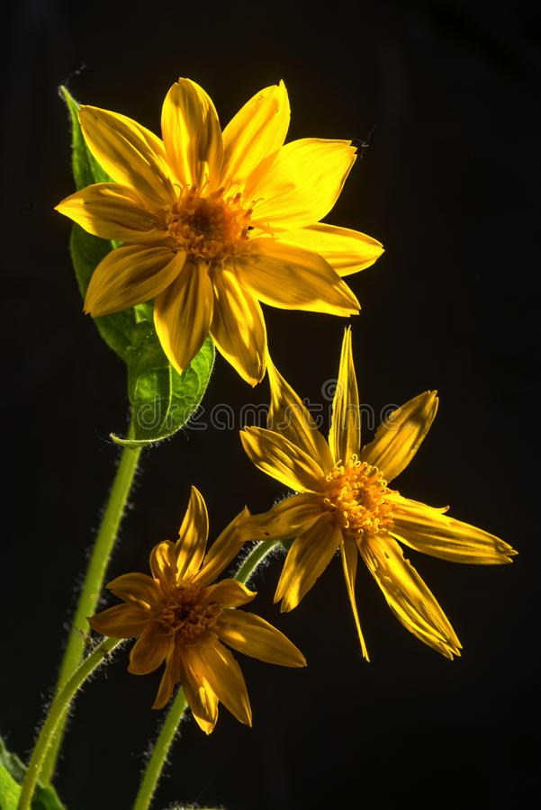 Três flores da arnica no preto com luminoso imagem de stock