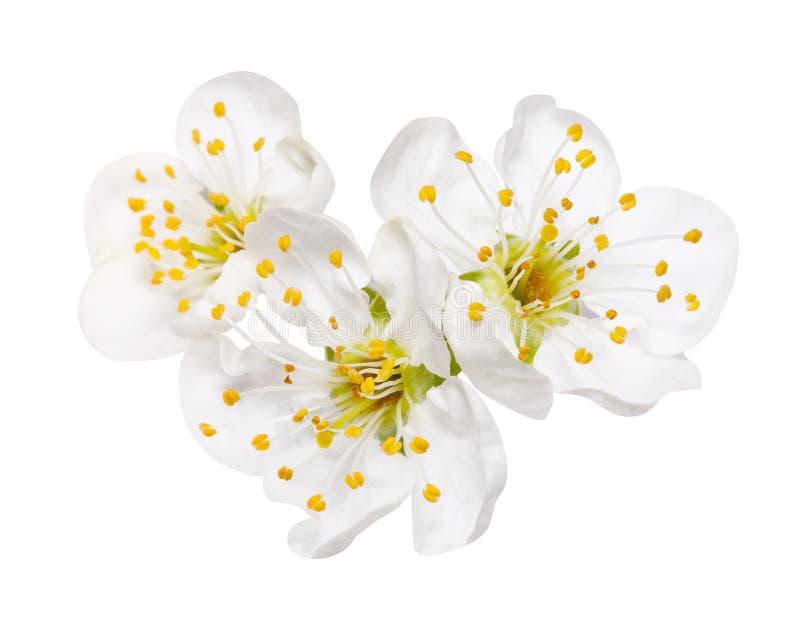 Três flores da maçã da flor da mola isoladas no branco fotos de stock royalty free