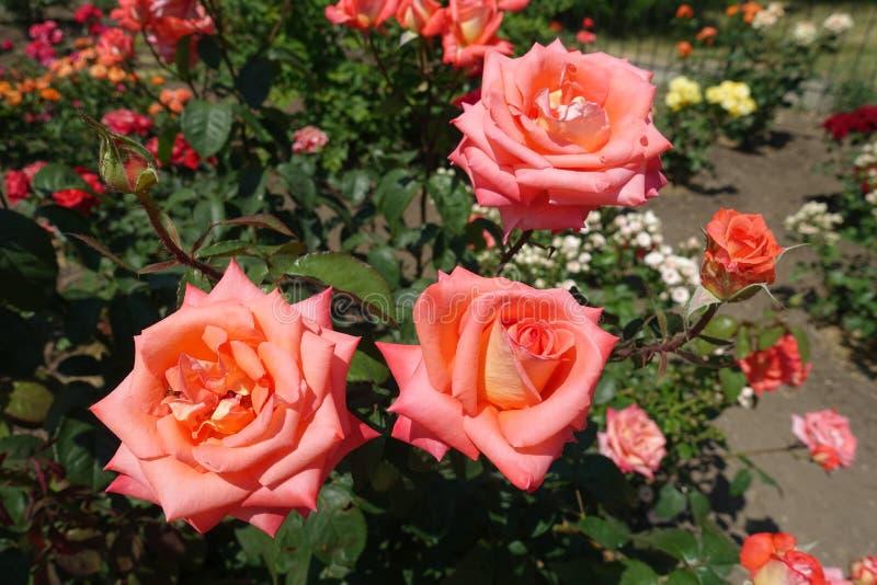 Três flores da rosa cor-de-rosa dos salmões imagens de stock