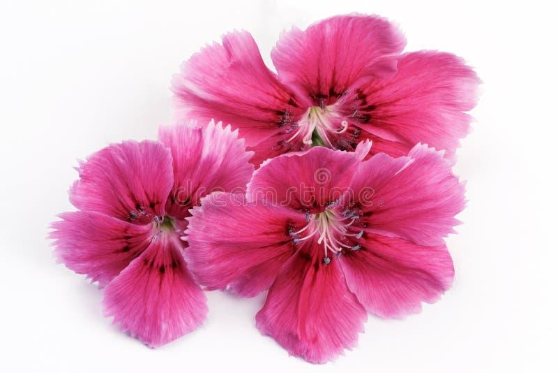 Três flores de um cravo vermelho do jardim imagem de stock royalty free