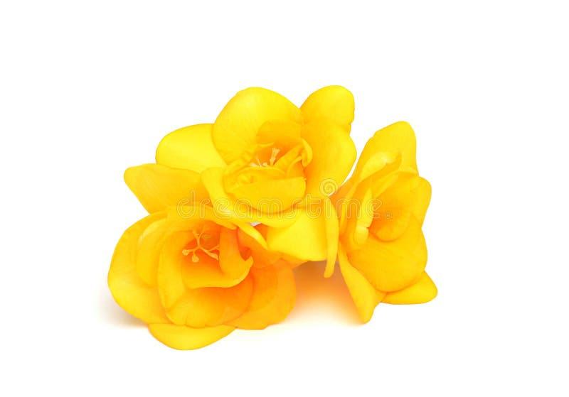 Três flores do freesia amarelo imagem de stock