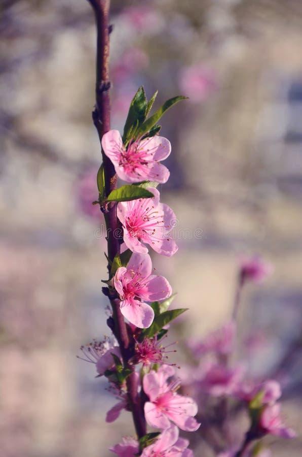 Três flores do pêssego no ramo imagens de stock