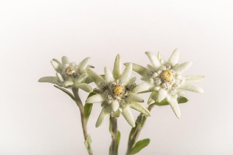 Três flores dos edelvais - isoladas fotos de stock