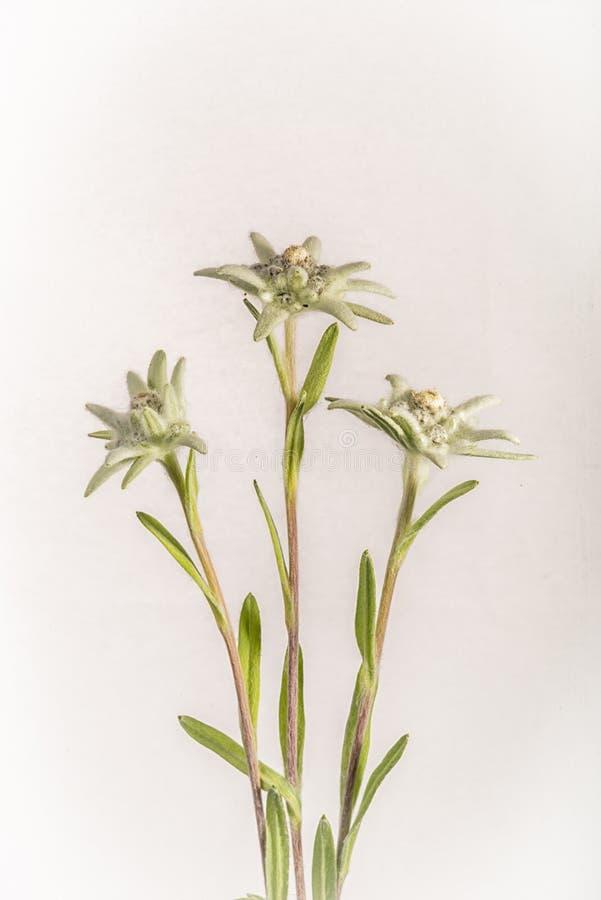 Três flores dos edelvais - isoladas no branco foto de stock