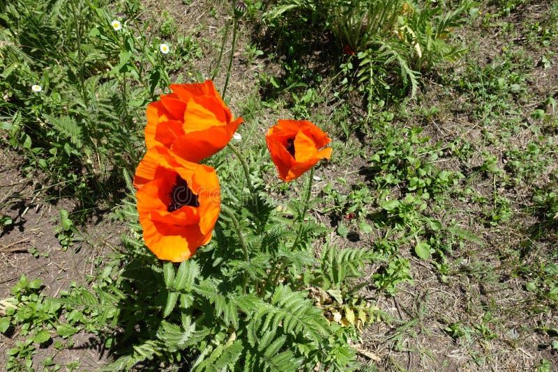 Três flores na papoila oriental fotos de stock royalty free