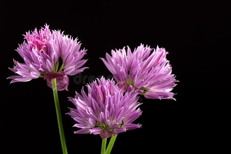 Três flores roxas da chalota isoladas no fundo preto imagem de stock