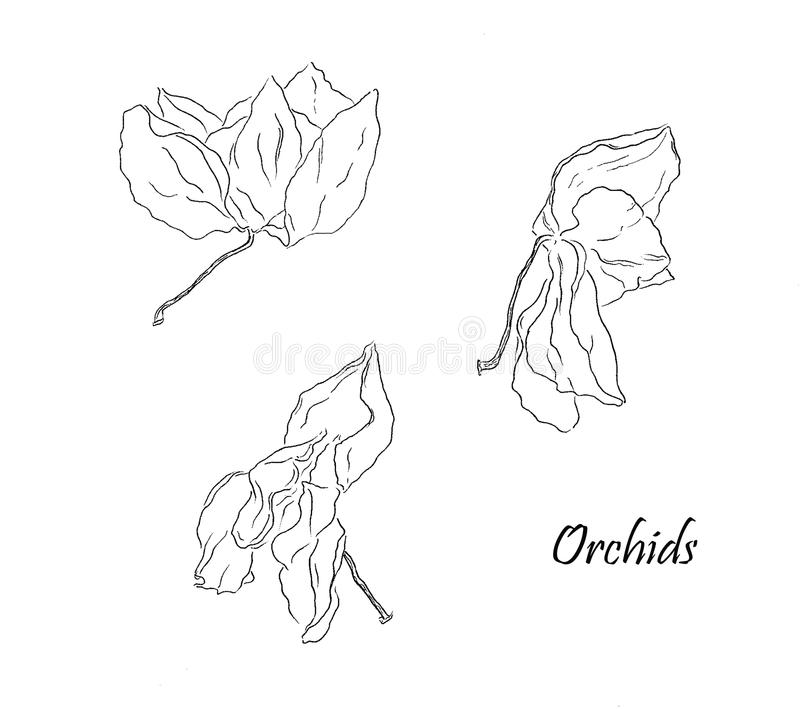 Três flores secas da orquídea no branco fotos de stock
