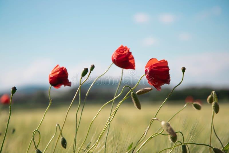 Três flores vermelhas da papoila com pés finos, hastes pequenas na perspectiva do céu azul claro da mola imagem de stock