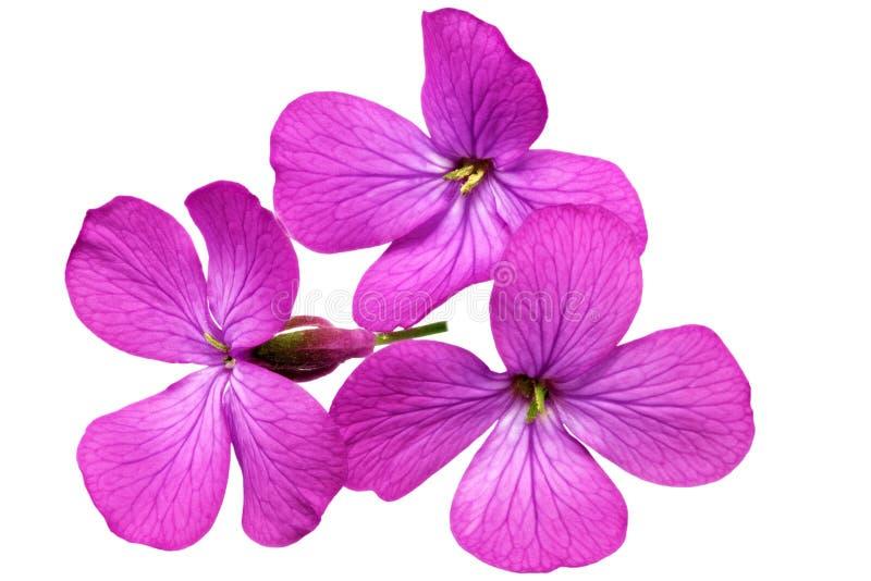 Três flores violetas. Close up no fundo branco. Isolado. imagem de stock