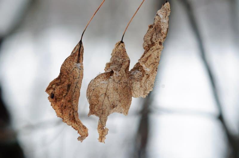 Três folhas congeladas secas no fundo da neve imagem de stock