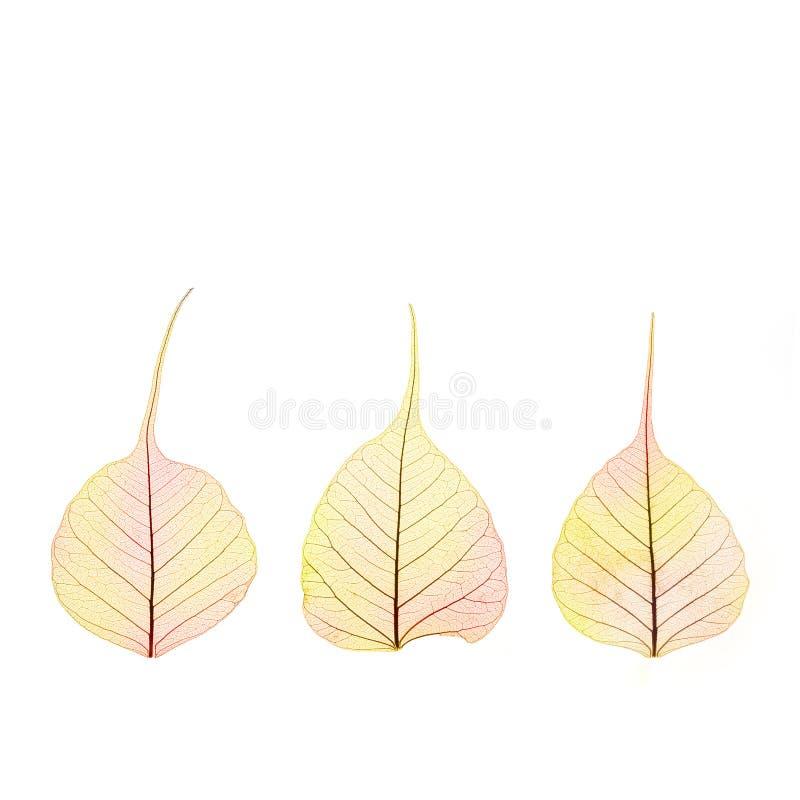 Três folhas secas da cor do outono - estrutura de pilha - isoladas imagens de stock