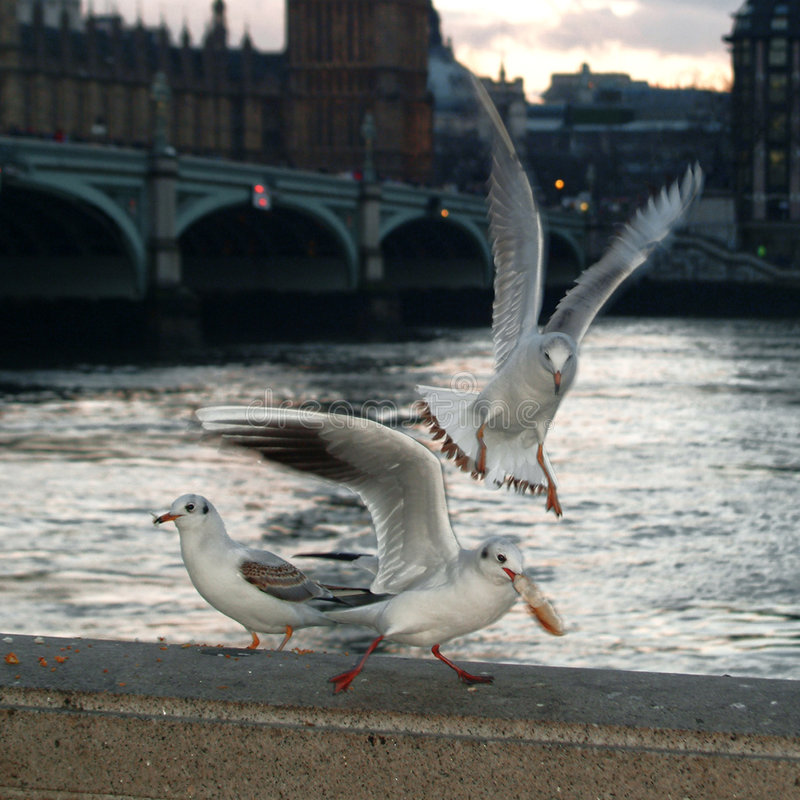 Três gaivota na Tamisa imagem de stock