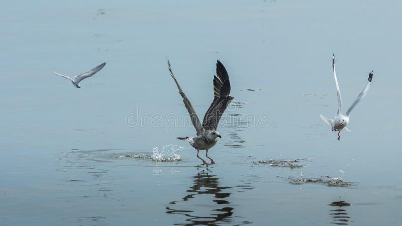 Três gaivotas imagem de stock