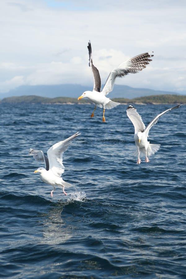 Três gaivotas imagens de stock royalty free