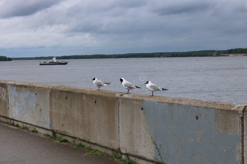 Três gaivotas estão sentando-se no cais foto de stock royalty free
